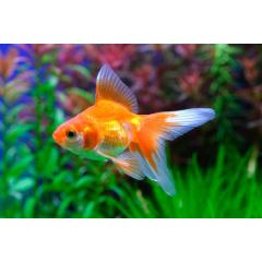 Золотые рыбки, карпы