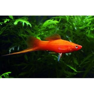 Меченосец Красный - (Xiphophorus Hellerii)