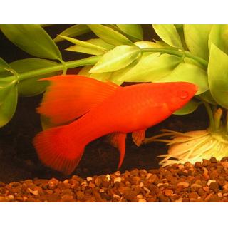 Меченосец Флаговый - (Xiphophorus Hellerii)