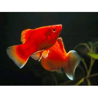 Пецилия Дисковая(красный Коралл) - (Xiphophorus Maculatus)