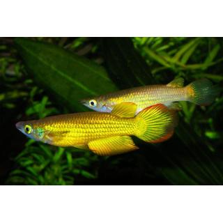 Линеатус Золотой - (Aplocheilus Lineatus)
