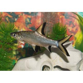 Акулий Балу - (Balantiocheilus Melanopterus)