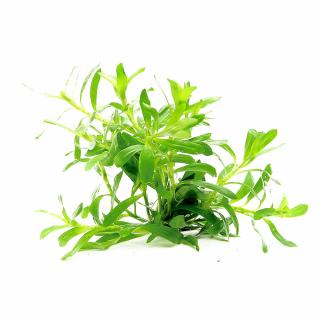 Гетерантера остролистная (Heteranthera zosterifolia)