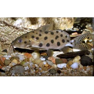 Синодонтис-кукушка - (Synodontis Multipunctatus)