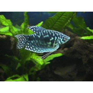 Гурами Мраморный - (Trichogaster Trichopterus)