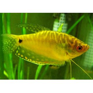 Гурами Золотой - (Trichogaster Trichopterus)