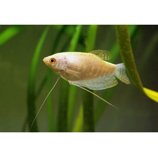 Гурами Перламутровый - (Trichogaster Trichopterus)