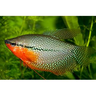 Гурами Жемчужный - (Trichogaster Leeri)