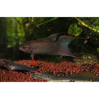 Макропод Черный - (мacropodus Concolor)