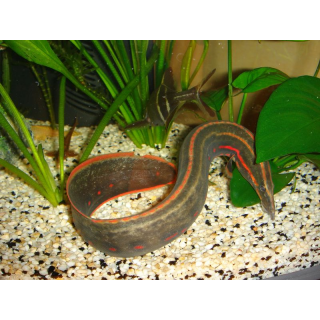 Мастоцембелус Краснополосый - (Mastacembelus Erythrotaenia)