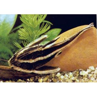 Платидорас Полосатый - (Platydoras Armatulus)