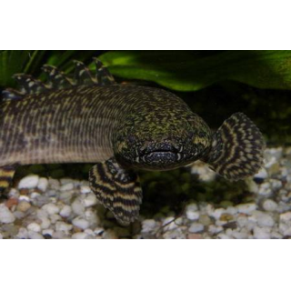 Многопер Конголезский - (Polypterus Endlicheri Congicus)