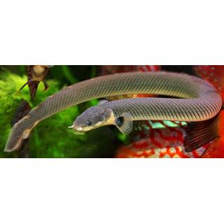 Каламоихт Калабарский - (Erpepoichtus Calabaricus)