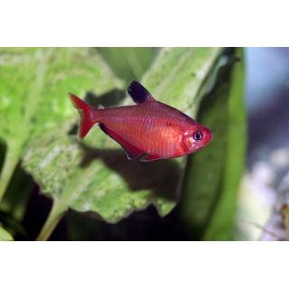 Тетра Кровавая - (Hyphessobrycon Eques)