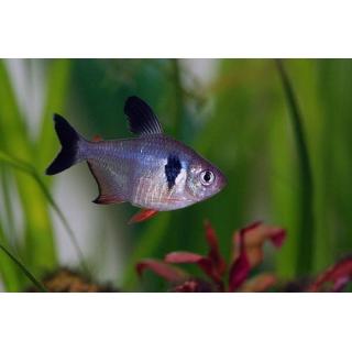 Фантом Черный - (Hyphessobrycon Megalopterus)