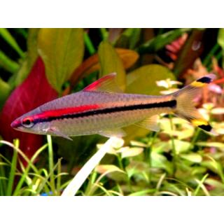Барбус Денисони - (Puntius Denisonii)