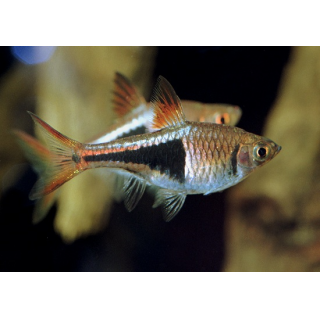Расбора Клинопятнистая - (Trigonostigma Heteromorpha)
