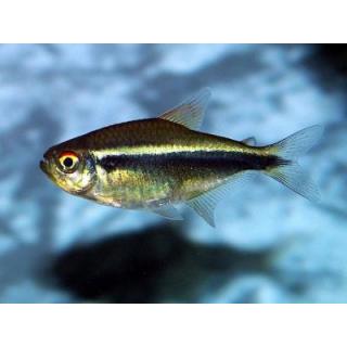 Неон Черный - (Hyphessobrycon Herbertaxelrodi)