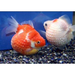 Жемчужинка - (Pearlscale Goldfish)