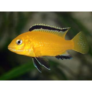 Еллоу - (Labidochromis Caeruleus)