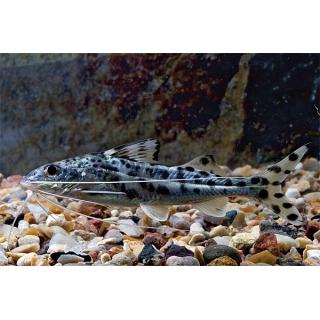 Пимелодус Украшенный - (Pimelodus Pictus)