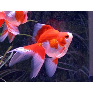 Риукин Красно-белый - (Carassius Auratus Var)