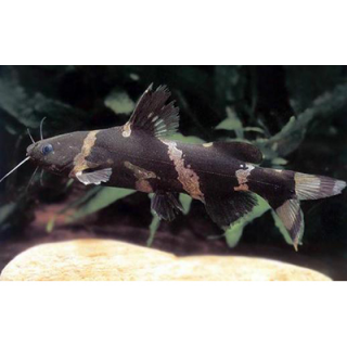 Косатка Сиамская - (рseudomystus Siamensis)