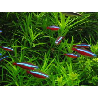 Неон Красный - (Paracheirodon Axelrodi)