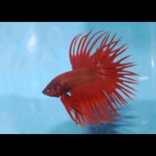 Петушок Коронохвостый Красный - (Betta Splendens)