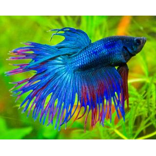 Петушок Коронохвостый Синий - (Betta Splendens)