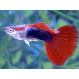 Гуппи Красный - (Poecilia Reticulata)