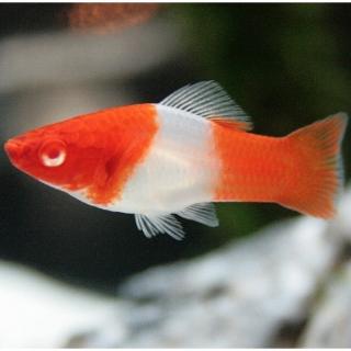Меченосец Кои Кохаку (Xiphophorus Hellerii)