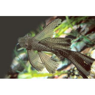 Анциструс Вуалевый - (Ancistrus Dolichopterus)