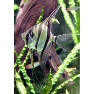 Скалярия Зебра - (Pterophyllum Scalare)