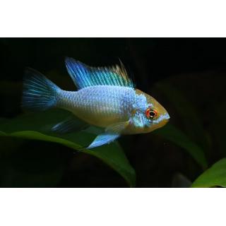 Наннакара - (Nannacara Neon Blue)
