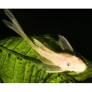Анциструс-вуалевый Альбинос - (Corydoras Paleatus Albino)