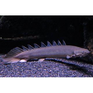 Полиптерус Сенегальский - (Polypterus Senegalus)