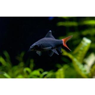 Лабео Биколор - (Epalzeorhynchos Bicolor)