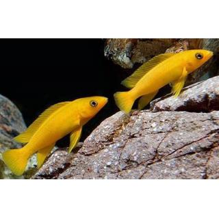 Лампрологус Апельсиновый - (Neolamprologus Leleupi)