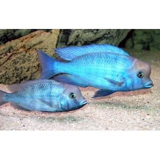 Голубой Дельфин - (Cyrtocara Moorii)