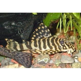 Сомик L 134 - (Peckoltia Compta)