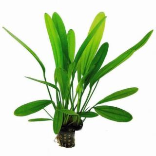 Эхинодорус Вероника (Echinodorus Veronicae Rataj)