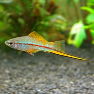 Меченосец Зеленный - (Xiphophorus Hellerii)