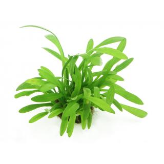 Стрелолист шиловидный карликовый (Sagittaria subulata var. pusilla)