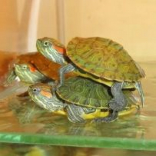 Черепаха Красноухая (мал)