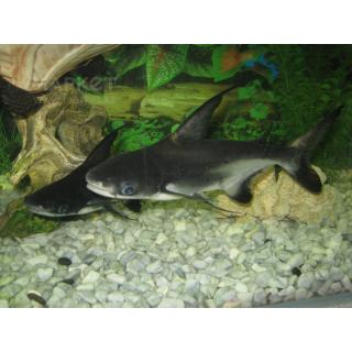 Акулий Сом Высокоплавничный - (Pangasianodon Hypophthalmus)