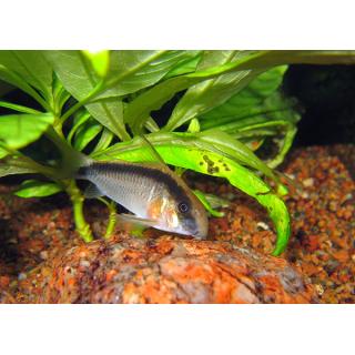 Коридорас Аркуатус - (Corydoras Arcuatus)
