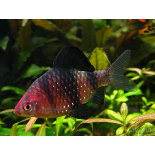 Барбус Черный Рубиновый - (Pethia Nigrofasciatus)