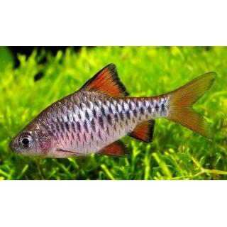 Барбус Олиголепис - (Puntius Oligolepis)