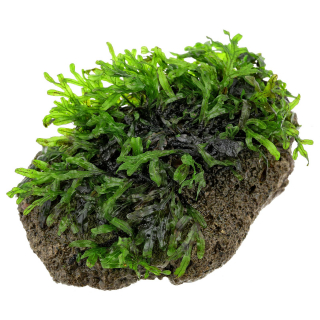 Папоротник Малабарский на камне (Crepidomanes malabaricum)